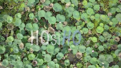 Water Lily In Champasak, Viewed From Drone