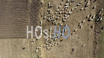 Grazing Herd Of Sheep - Video Drone Footage
