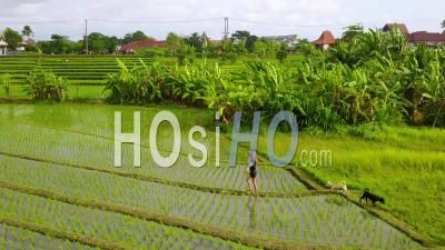 Aerial View Of A Young Girl Running With Her Dogs Through The Rice Paddies Of Bali, Indonesia - Video Drone Footage