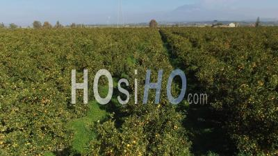 An Orange Plantation In Sicily (italy) With Mount Etna In The Background - Video Drone Footage