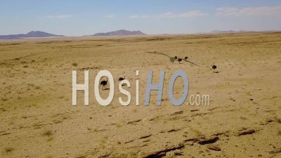 Aerial View Of Ostriches Running In The Namib Desert, Namibia - Video Drone Footage