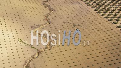 Aerial View Of (wide Shot) Olive Plantation With Freshly Planted And Mature Trees