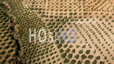 Aerial View Of Olive Plantations Separated By Ravine