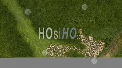 Aerial View Cute Domestic Duckling Walking In Green Grass Outdoor - Aerial Photography