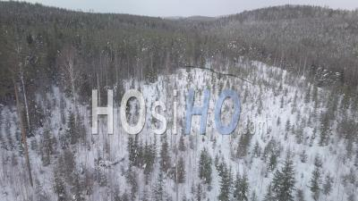 Man Running After A Brown Bear In A Snowy Forest Of Fir Trees, Tackasen, Sweden - Video Drone Footage