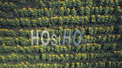Rows Of Sunflowers In A Field In Spring Sunshine. Top Down Aerial Drone View