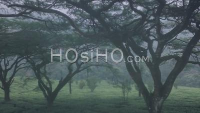 Paysage De Paysage De Plantation De Thé Brumeux, Inde. Vidéo Aérienne Par Drone Vers L'avant