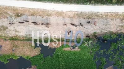 Aerial View Of Herd Of Buffaloes Going Home At Penang - Video Drone Footage