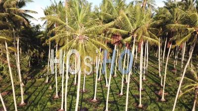 Aerial View Coconut Plantation In Evening With Shadows On The Ground. - Video Drone Footage