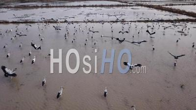 Asian Openbills Have White Or Gray Plumage - Video Drone Footage