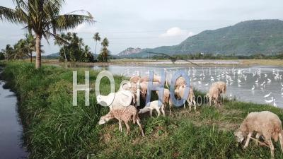 Aerial Herd Of Goats Grazing Grass In Field At Penang - Video Drone Footage