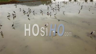 Asian Openbill Birds Fly - Video Drone Footage