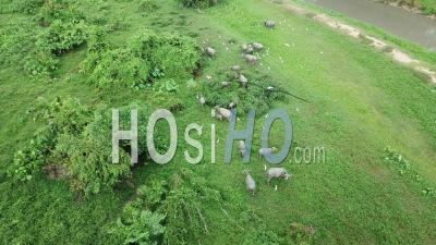 Herd Of Buffaloes Live Together With Cattle Egrets At Green Field - Video Drone Footage