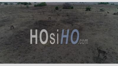 Antilopes Dans Le Parc National De Gorongosa Au Mozambique - Vidéos Par Drone