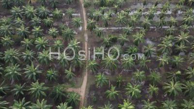 Vue Aérienne Du Chemin Rural Dans Le Palmier à Huile - Vidéo Par Drone