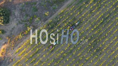 Grape Harvest By Hands At Vineyards In Provence, Nearby The Mediterranean Sea Coast, Var - Video Drone Footage