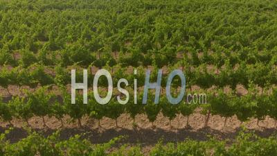 Aerial Trucking Shot Of A Young Winery In The D'orcia Valley In Tuscany - Video Drone Footage