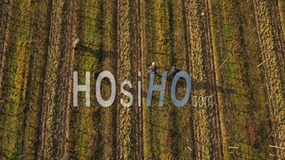 Ouvriers En Rangée De Vignes - Vidéo Drone