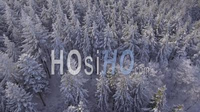 Snowy Fir Trees In The Pyrenees, Seen By Drone